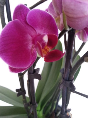 Orchidee Vlinderclip Medium